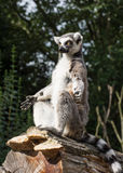 One Ring-tailed lemur (Lemur catta) is heated Stock Photography