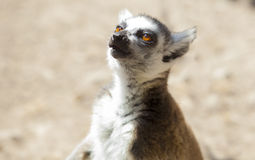 One ring-tailed lemur singing Stock Images