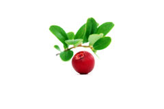 One ripe cowberry Stock Image