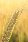 One ripe ear, golden field background Royalty Free Stock Image