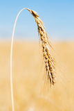 One ripe gold wheat ear Royalty Free Stock Photos