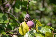 One ripe and one decayed purple plum on a branch royalty free stock image