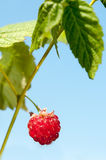 One ripe raspberry on green bunch with fresh leaves Royalty Free Stock Photography