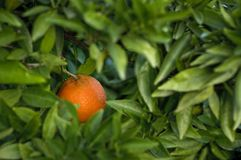 One ripe Spanish orange on the tree Royalty Free Stock Photography