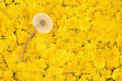 One ripe white dandelion on yellow. One ripe white dandelion on a carpet of flowers of yellow dandelions Royalty Free Stock Photo