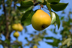 One ripe yellow pear hanging from a tree in the garden Stock Photo
