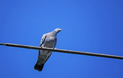 One Rock Pigeon Perched On A Wire Stock Images