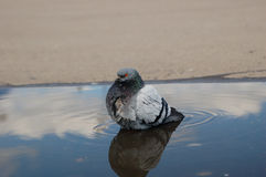 One rock pigeon washes himself after rain in the puddle on moscow street Stock Photography