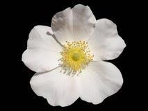 One `Rosa canina` rose white flower isolated on black.  Royalty Free Stock Photo