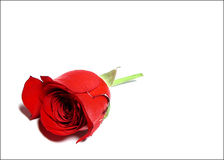 One Rose. One lone red rose Royalty Free Stock Images