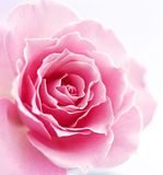 One rose Royalty Free Stock Photos