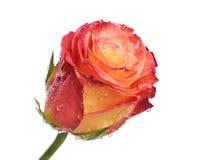 One rose Stock Photo