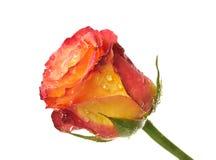 One rose Royalty Free Stock Image