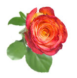 One rose Stock Images