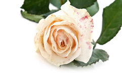 One rose Royalty Free Stock Image
