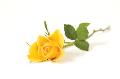 One rose. Yellow rose isolated on the white background stock photo