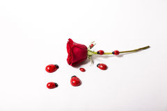 One rose beetles Royalty Free Stock Photo