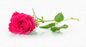 One rose with dew drops. Stock Image