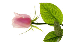 One rose. One flower of a rose with leaves on a white background isolated Stock Photos