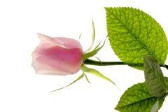 One rose. Stock Photos