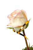 One rose with a gold tape. On the white Royalty Free Stock Photo