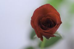 One rose Royalty Free Stock Photo