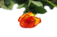 One rose isolated. On a white background Royalty Free Stock Photos