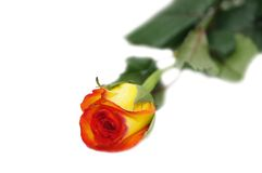 One rose isolated. On a white background Royalty Free Stock Images