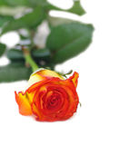 One rose isolated. On a white background Royalty Free Stock Photography