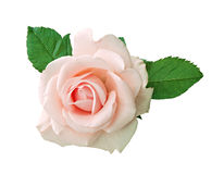 One rose isolated background Royalty Free Stock Photography