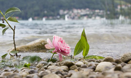 One rose at stony beach, farewell scene stock photography