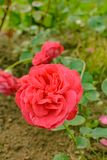 Red rose in front of the photographer's lens royalty free stock image
