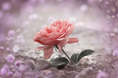 One rosy rose flower at the stony beach, gypsophila frame royalty free stock images
