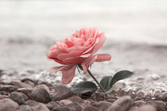 One rosy rose flower at the stony beach. Soft water background Royalty Free Stock Image