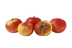 One rotten apple in bunch of four Stock Photography