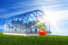 One round greenhouse with tomatoes Stock Photos