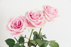 One row of three roses with green stem. On white vertical background one row of three garden pink roses with green leaves Stock Photography