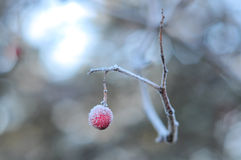 One rowan berry in frost Royalty Free Stock Image