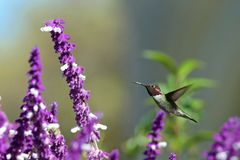 One ruby throated hummingbird in Mexican Sage flowers. One ruby throated hummingbird in flight hovering in purple Mexican Sage flower bushes. It is by far the royalty free stock photos