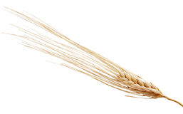 One rye spikelet on the white Stock Photo