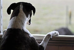 One sad dog standing looking out open window Stock Photo