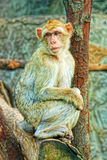 One sad monkey. Sit on tree Stock Image
