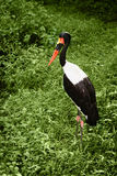 One saddle-billed stork in green grass Stock Image
