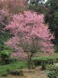 One sakura tree Royalty Free Stock Image