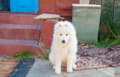 One samoed dog puppy white Royalty Free Stock Photography