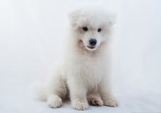 One samoed dog white Stock Photography