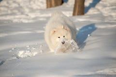 One samoed dog white Royalty Free Stock Photo