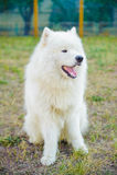 One samoed dog white Stock Photos