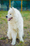 One samoed dog white Royalty Free Stock Photography