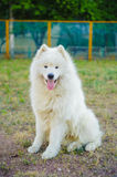 One samoed dog white Royalty Free Stock Images
